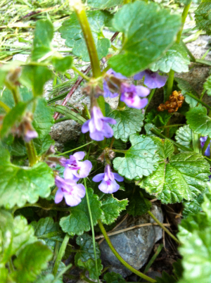Diversity in a Swiss meadow - Ground ivy
