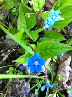 Diversity in a Swiss meadow - Speedwell