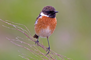 Stonechat (male) in SE Scotland