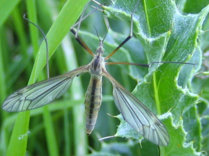 unknown cranefly