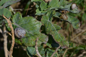 Snails on wild cabbage