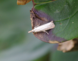 Small pale moth