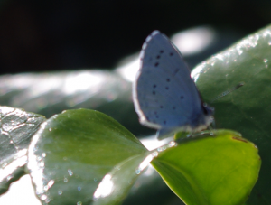 Small white butterfly pale blue spots