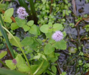 Purple aquatic plant