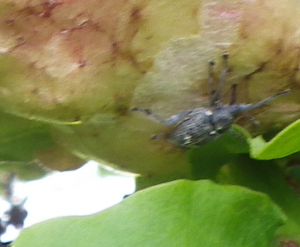 Grey Weevil
