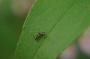 Small flying ant like bug