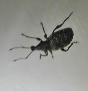 A type of Wood beetle