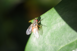 Flesh fly looking thorax with orange abdomen
