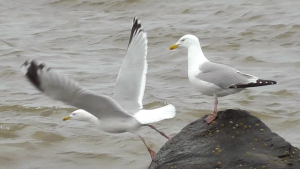 Herring Gull - Lowestoft, Suffolk.