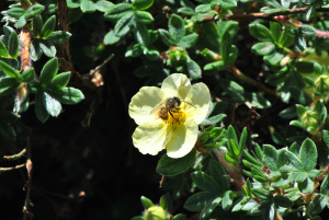 Unidentified bee