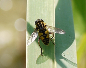 Hover fly at pond