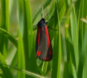 Red and black moth in garden