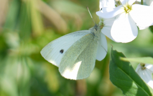 White butterfly at white flower