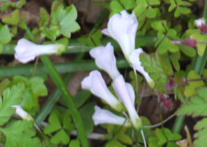 Creeping plant with white belll flowers
