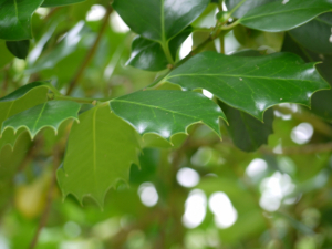 Tree with glossy spiky leaves