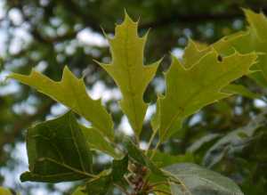 Tree with deeply lobed, spiky leaves