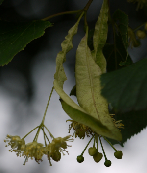 Tree with pale hanging flowers and fruit in July