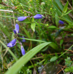 Heath Milkwort (Polygala serpyllifolia)
