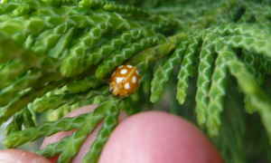Orange ladybird: Halyzia sedecimguttata