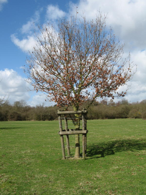 Wood pasture management: young oak tree