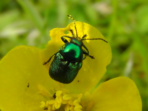 Green cryptocephalus