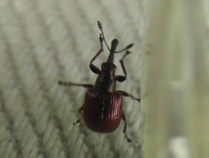Unknown Weevil
