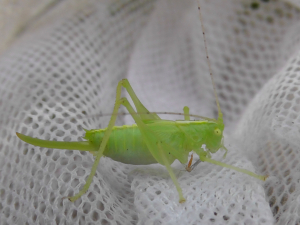 Southern Oak Bush Cricket