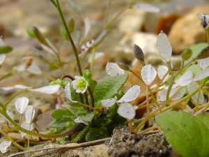 Plant id - Common Whitlowgrass?