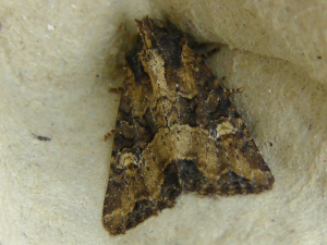 Common Rustic or Crescent