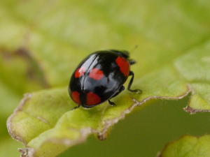 Two spot ladybird with six spots 2