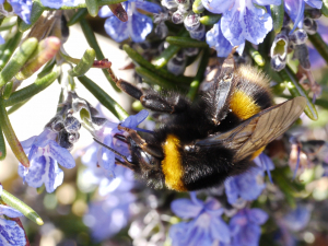 Buff tailed queen bumblebee
