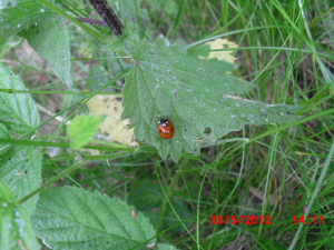 A 7-spot ladybird found during a Ladybird field study. The 6th of 23 Ladybirds found during a 1 hour 20 minute transect walk.