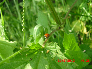 A 7-spot ladybird found during a Ladybird field study. The 11th of 23 Ladybirds found during a 1 hour 20 minute transect walk.