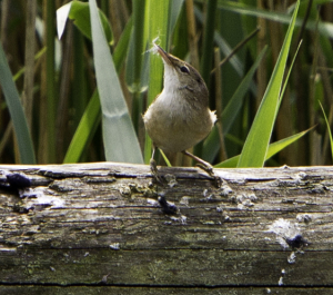 Reed Warbler   gathering nest material