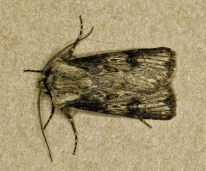 Shuttle-shaped Dart (Agrotis puta)