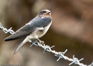 Swallow fledgling and nestlings