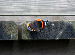 Red Admiral butterfly, Rye Meads