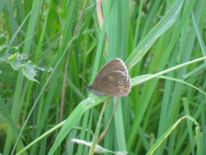 Ringlet found in Gloucestershire