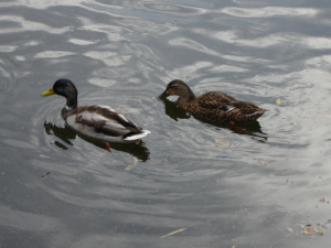 Mallards at King's Pond
