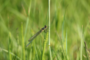 Female large red damselfly?