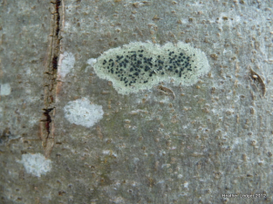 Lichen (grey Crustose)
