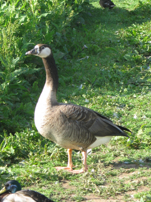 Canada/Pink-Footed hybrid goose at Backwell Lake, Nr Bristol