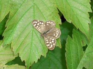 Speckled Wood, Ainsdale NNR