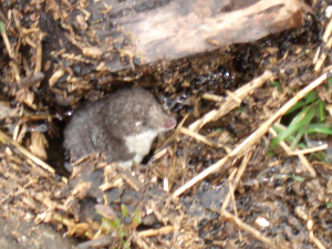 Water Shrew, Parkgate