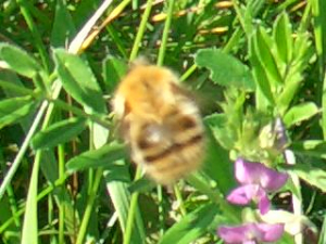 Common Carder Bee nectaring on Common Vetch