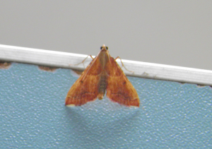 Unknown moth 2