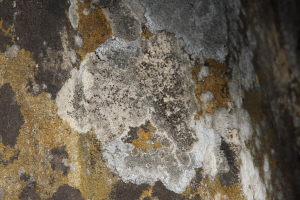 group of crustose lichens
