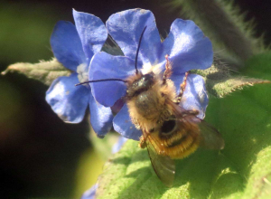 Small Bee on Green Alkanet