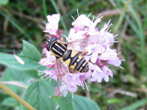 Hoverfly - Helophilus sp.
