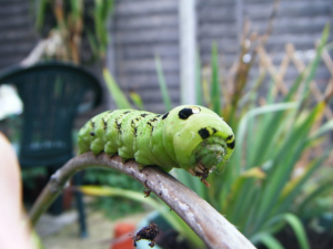 Elephant Hawk Moth Caterpillar